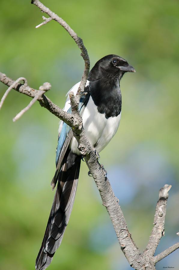 Magpie Photograph