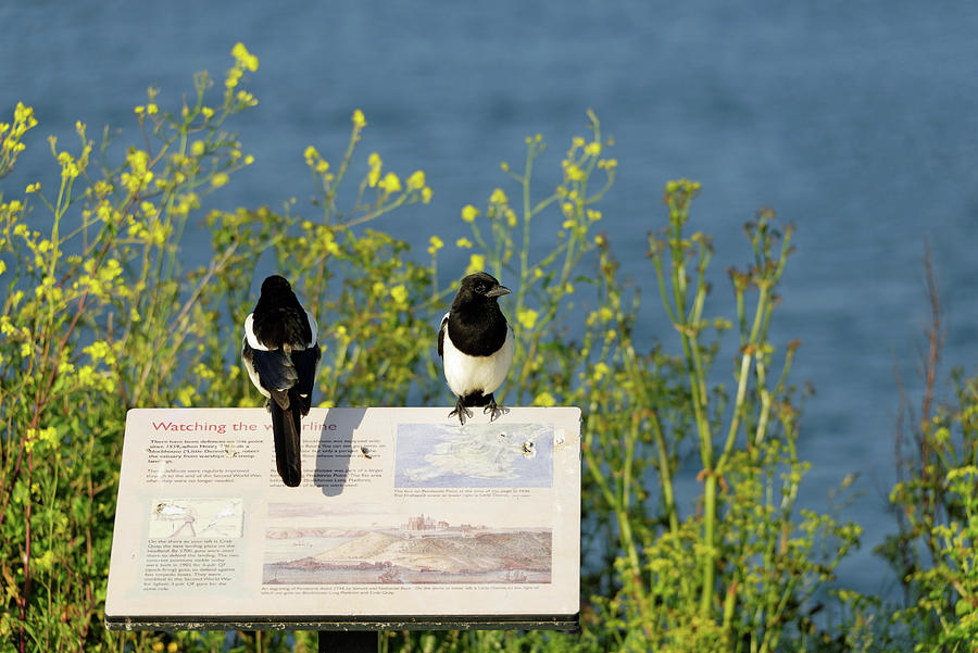 Magpies Keeping Watch - Pendennis Point Photograph