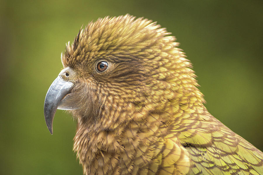 Kea Portrait Photograph