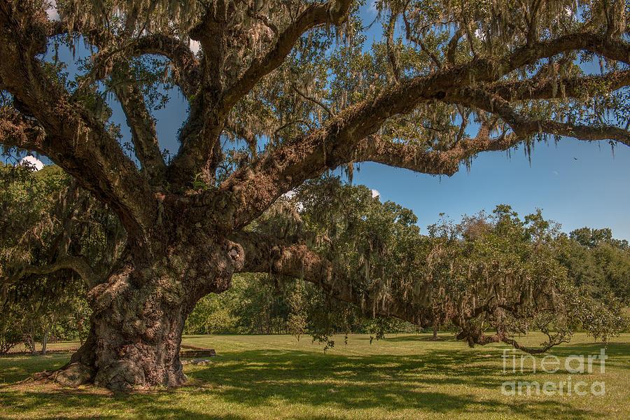 Majestic Live Oak Tree At Mcleod Plantation Photograph