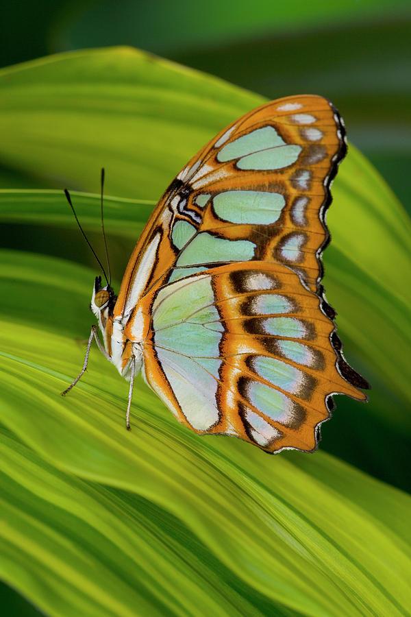 Malachite Butterfly (siproeta Stelenes) On Rhapis Palm Leaves (rhapis Excelsa) Photograph
