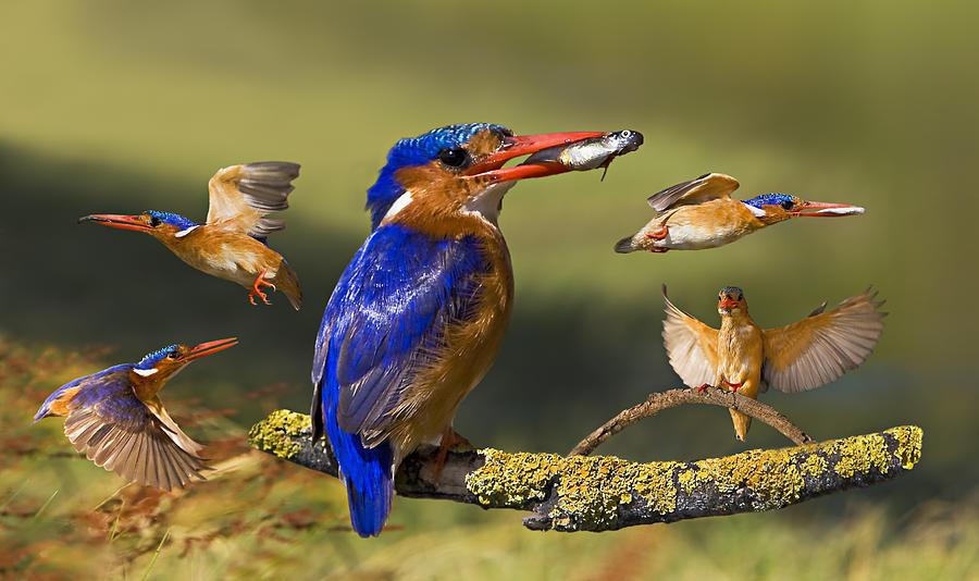Bird Digital Art - Malachite Kingfisher Collage by Basie Van Zyl