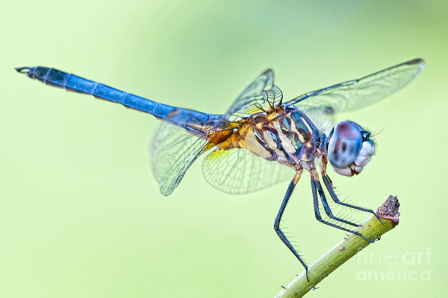 Male Blue Dasher Dragonfly Photograph - Male Blue Dasher Dragonfly by Bonnie Barry