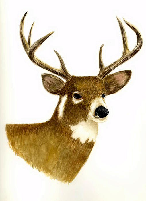Deer Painting - Male Deer by Michael Vigliotti
