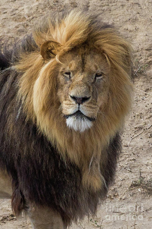 Male Lion Portrait Photograph