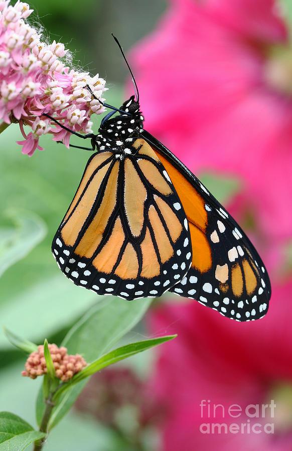 Monarch Photograph - Male Monarch by Steve Augustin