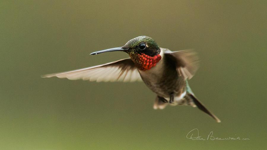 Male Ruby-throated Hummingbird 6794 Photograph