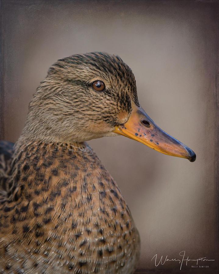 Mallard Duck - 4157,st Photograph