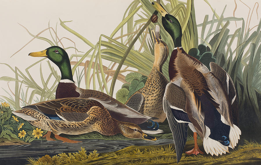 Mallard Duck Painting By John James Audubon