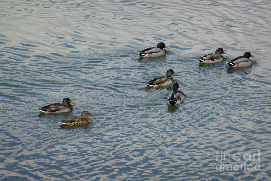 Beak Photograph - Mallard Ducks In Pond 2 by Jean Bernard Roussilhe