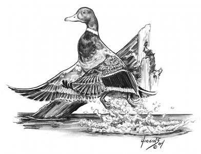 Mallard Taking Flight Drawing by Don Higgins