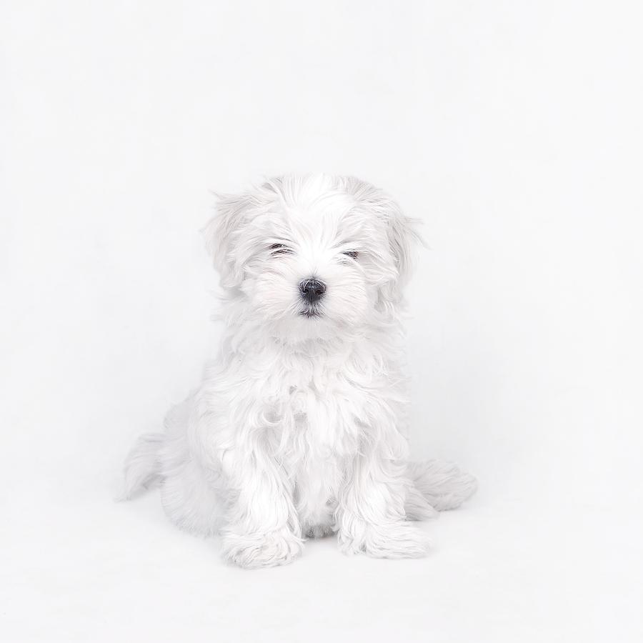 Maltese Dog Puppy Photograph