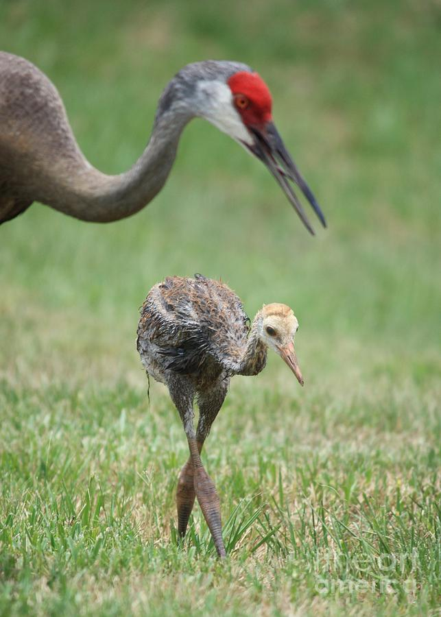Mama And Juvenile Sandhill Crane Photograph