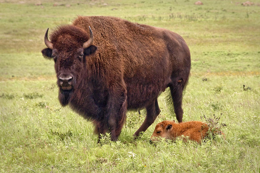 Buffalo Photograph - Mama Watching Over Baby by Tamyra Ayles