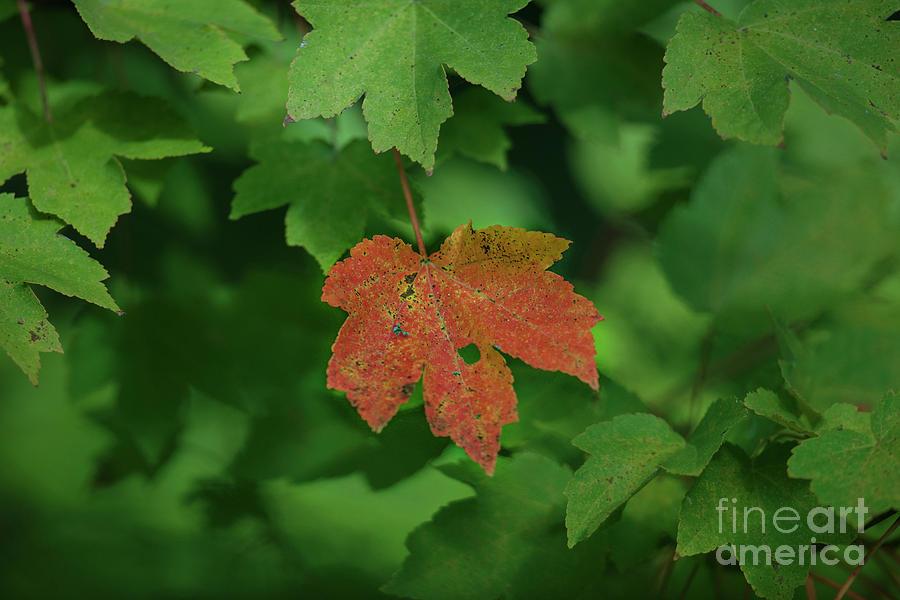 Maple Leaf Fall Color In Charleston South Carolina Photograph