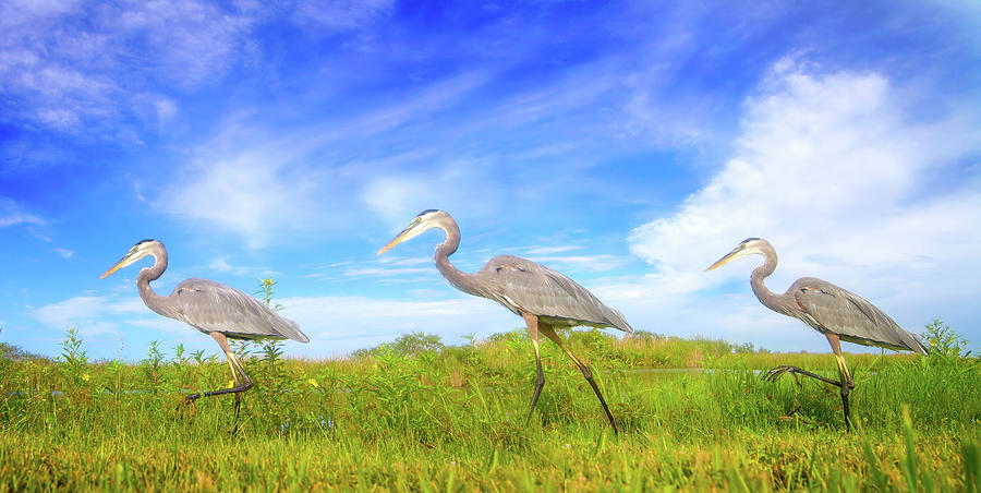 March Of The Great Blue Herons Photograph