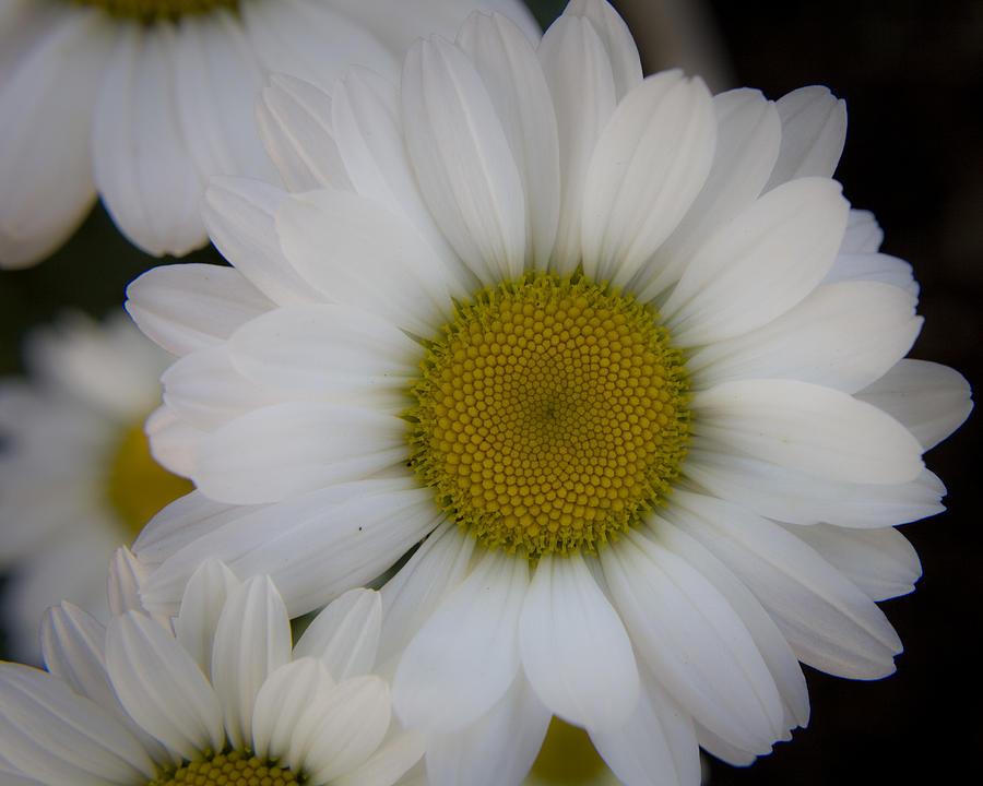 Marguerite Photograph - Marguerite Daisies by Teresa Mucha