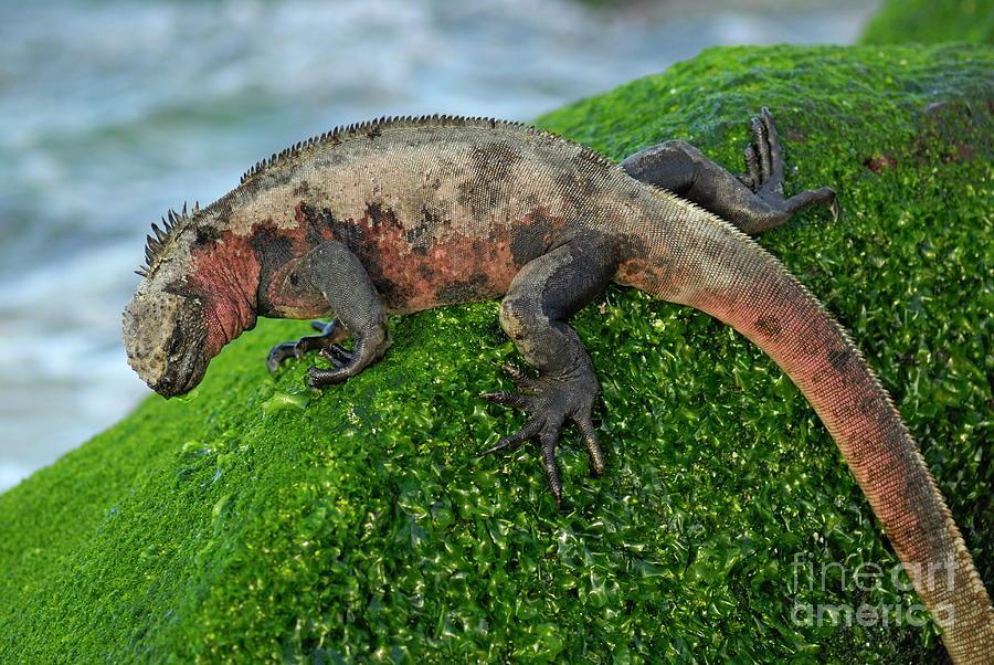 Marine Iguana On Rock Photograph by Sami Sarkis