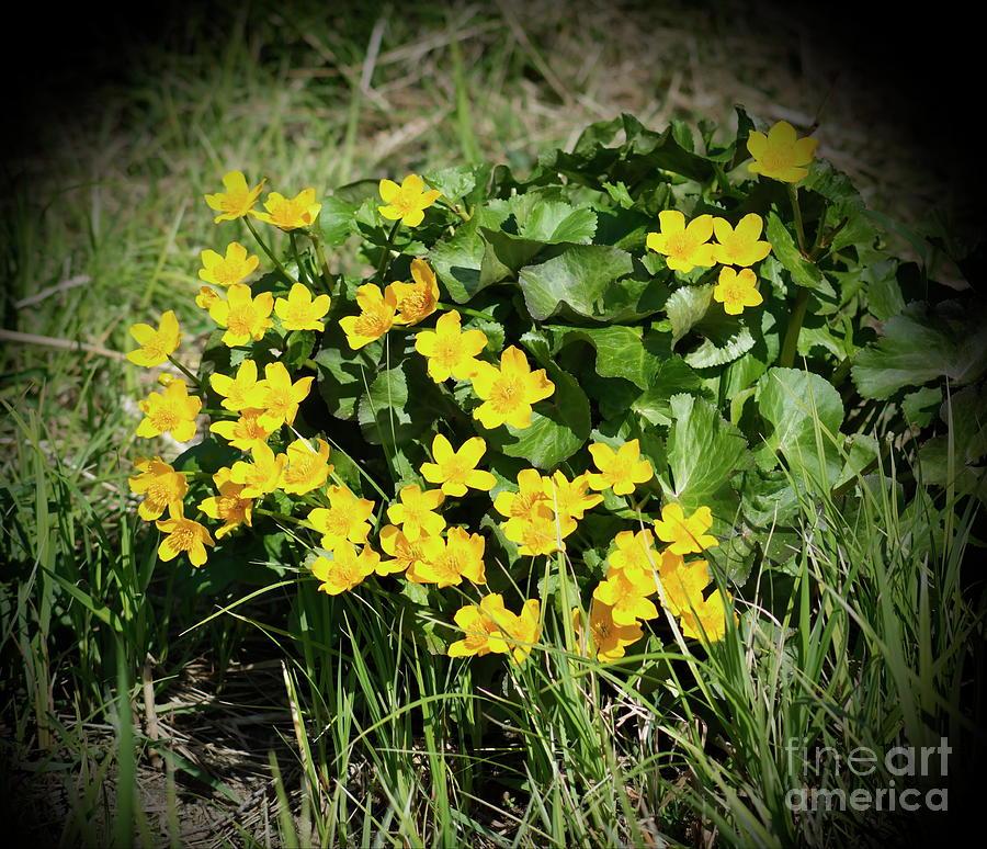 Marsh Marigold Photograph by Esko Lindell
