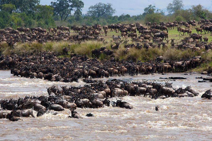 Masai Mara Photograph - Masai Mara The Great Migration by Paco Feria