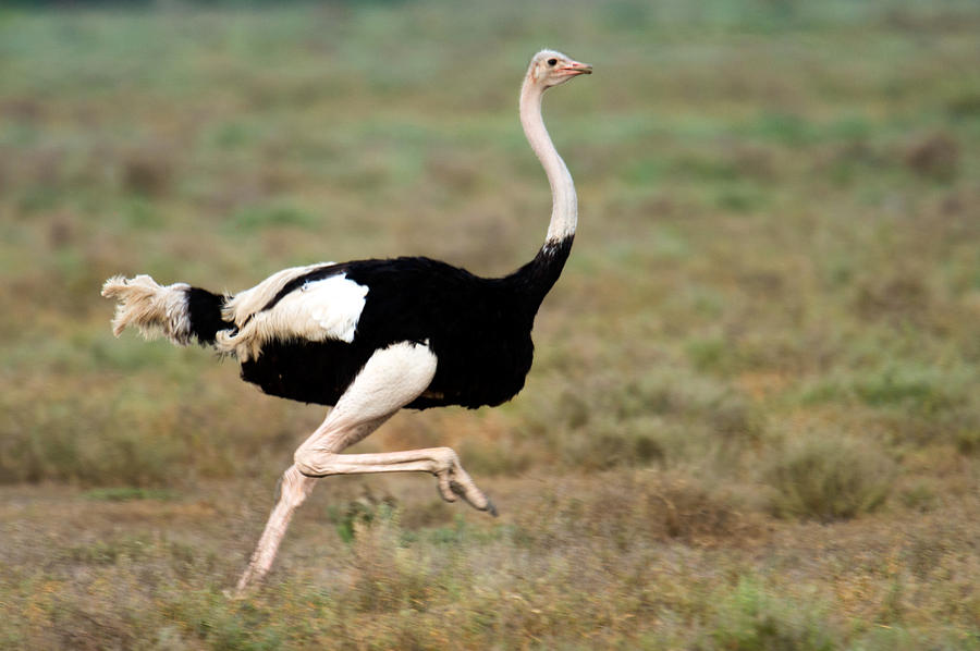 Masai Ostrich Struthio Camelus Running Photograph By