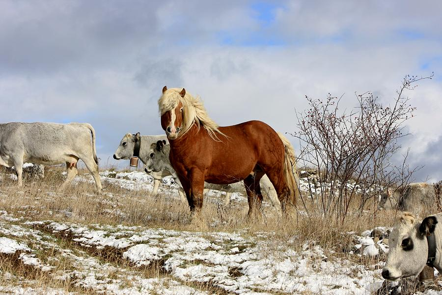France Horse Field Snow Pyrenees Walk Country Brown Blue White Wind Winter Landscape Stallion Photograph - Master Of The Field by Frederic Vigne
