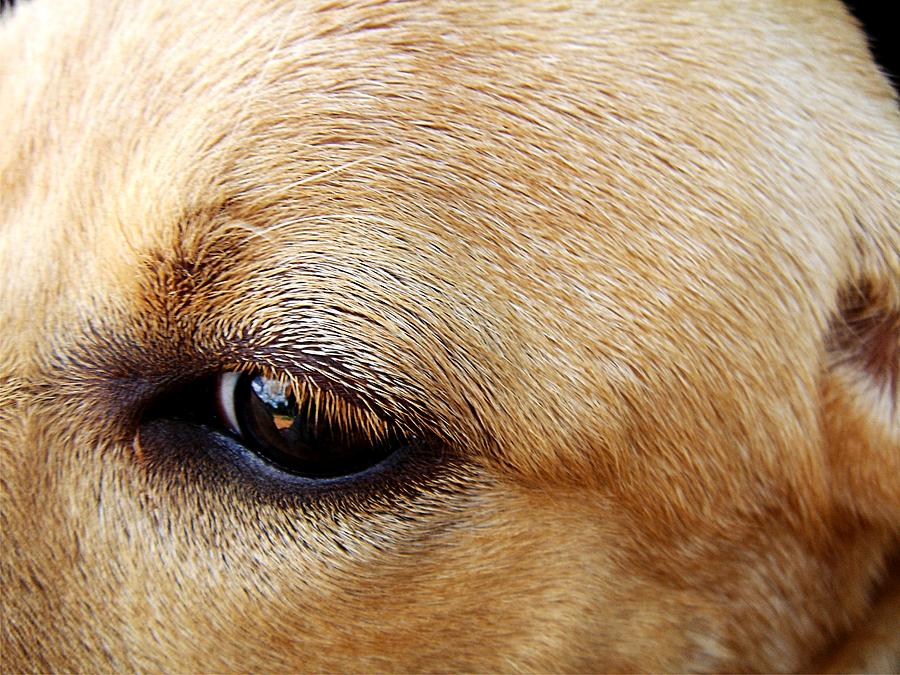 Labrador Retriever Photograph - Max by Paulo Zerbato