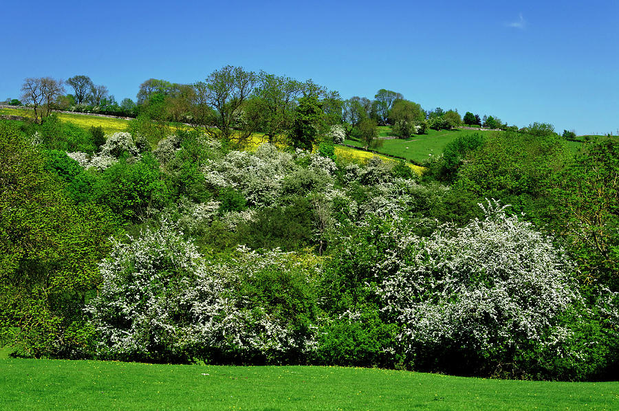 May Blossom Near Thorpe In Derbyshire Photograph