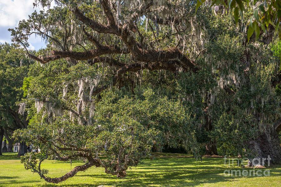 Mcleod Live Oak Photograph