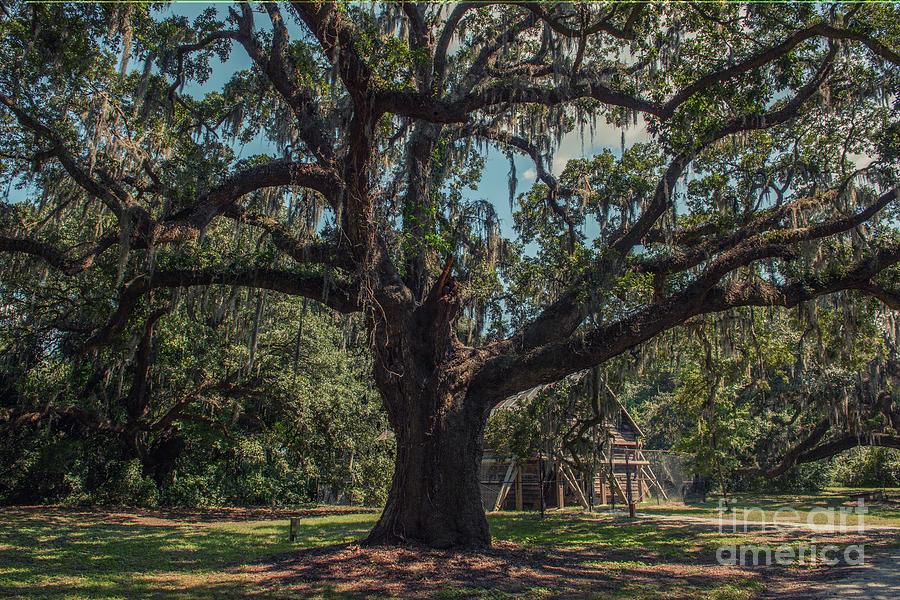 Mcleod Plantation Live Oak Tree Photograph