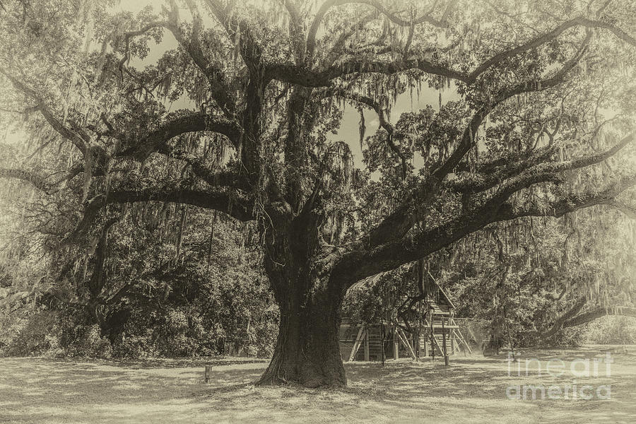 Mcleod Plantation Majestic Oak Photograph