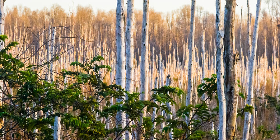 Melaleuca Forest Photograph