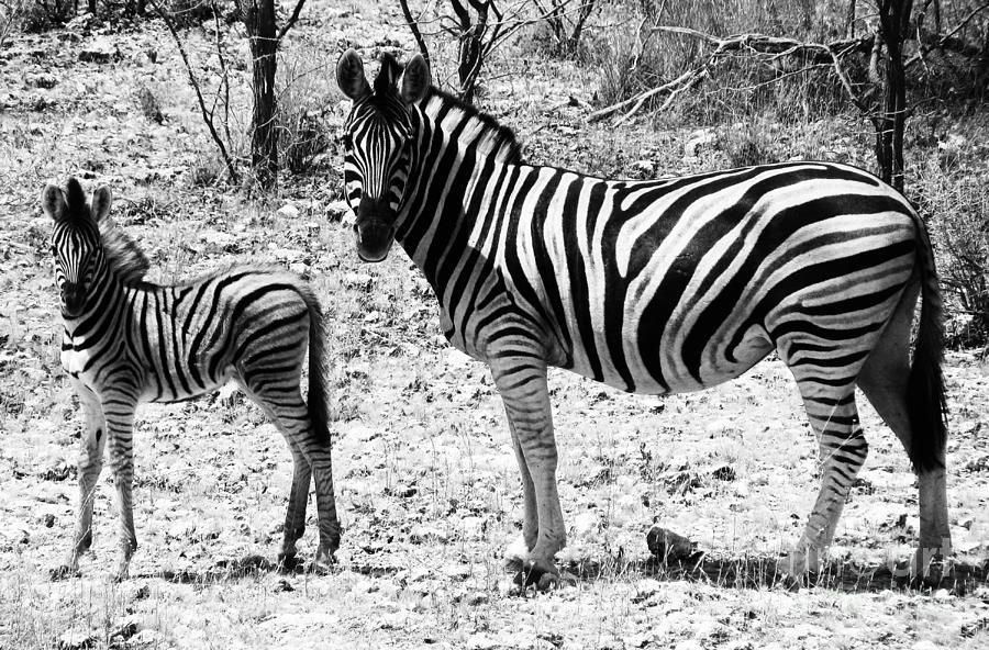 Africa Photograph - Mimic by Andrew Paranavitana
