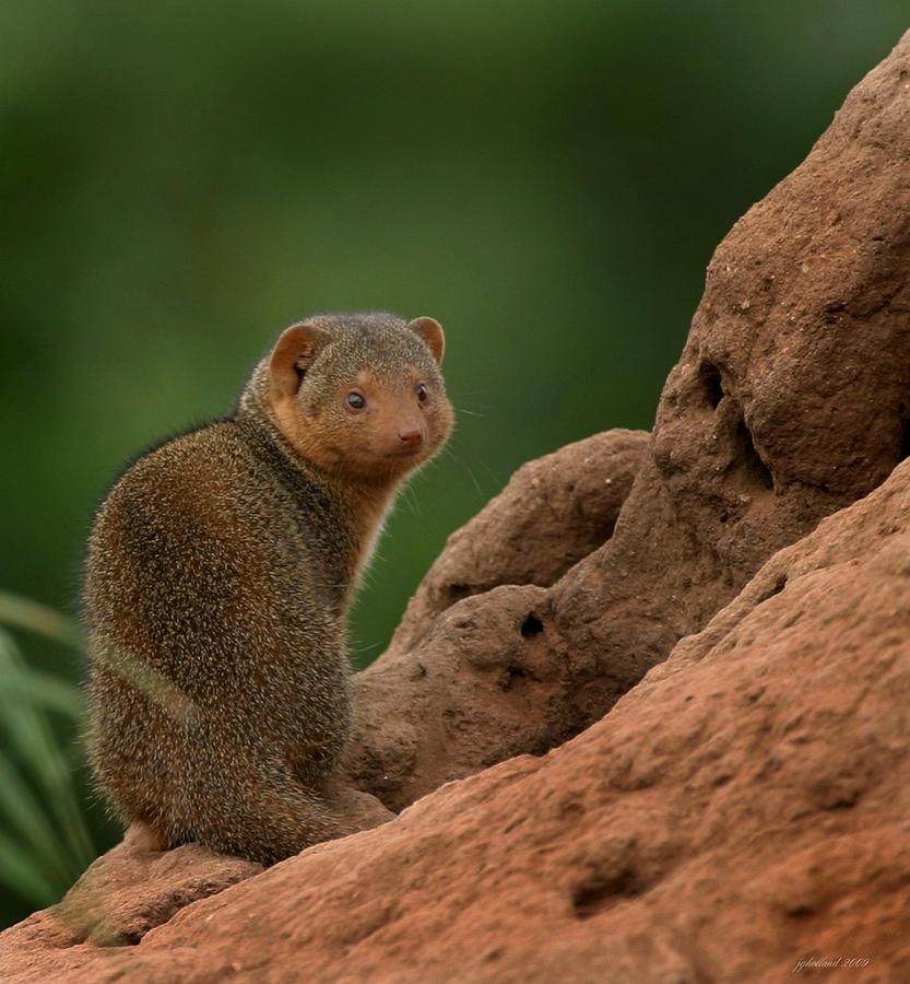 Mongoose Photograph - Mini Mongoose by Joseph G Holland