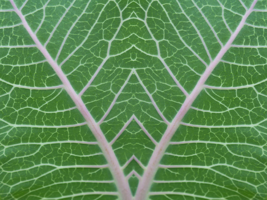 Mirrored Milkweed Veins Photograph