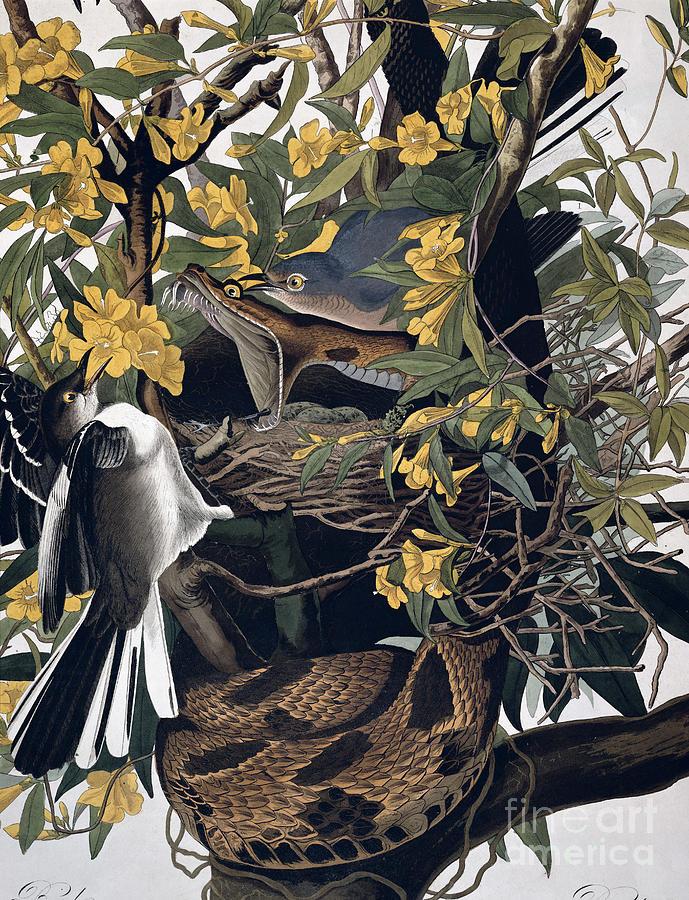 Mocking Birds And Rattlesnake Drawing - Mocking Birds And Rattlesnake by John James Audubon