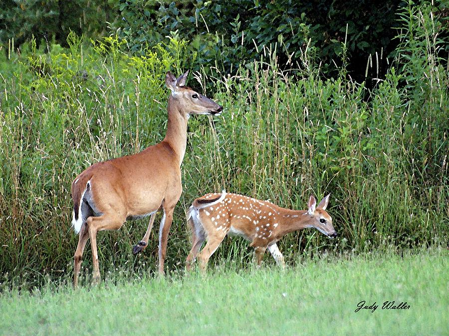 Mom And Baby Deer Photograph by Judy Waller
