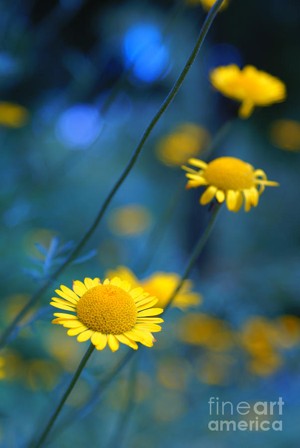 Daisies Photograph - Momentum 04a by Variance Collections