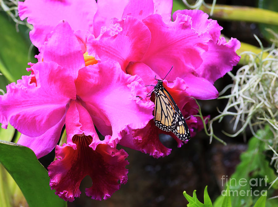 Monarch Butterfly On Orchids Photograph