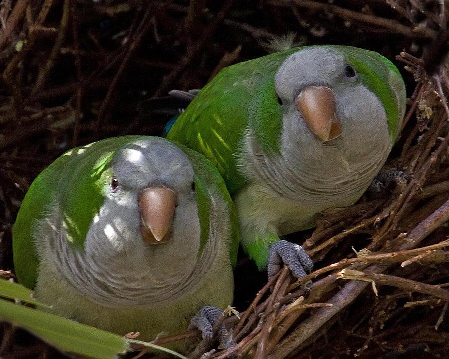 Monk Parakeet Pair Photograph