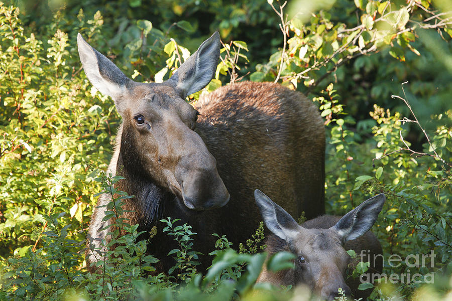White Mountain National Forest Photograph - Moose - White Mountains New Hampshire  by Erin Paul Donovan