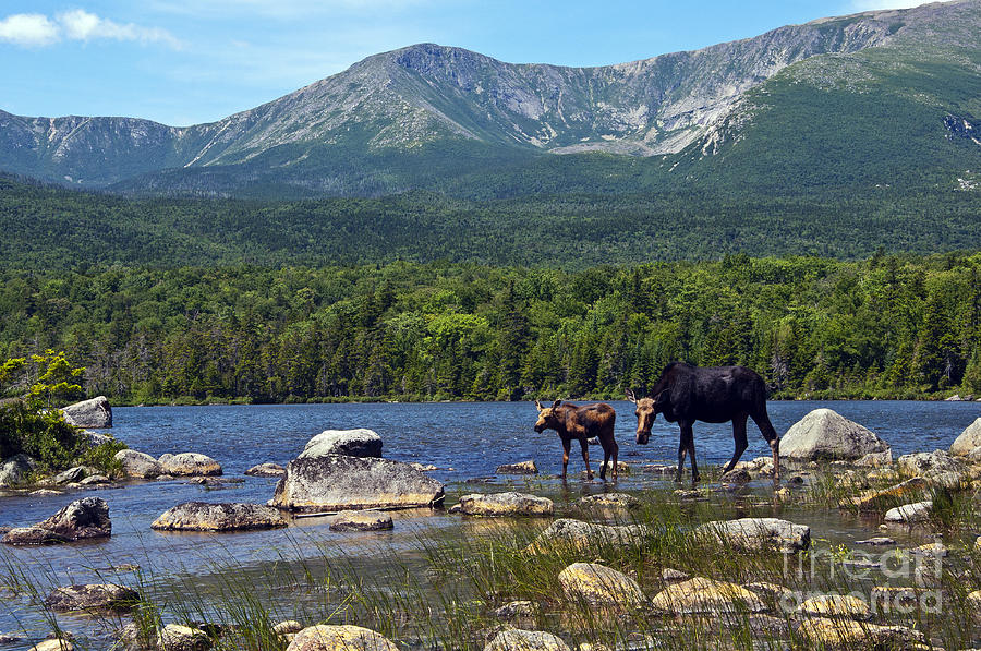 Moose Baxter State Park Maine 2 Photograph By Glenn Gordon