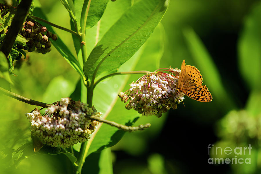 Moth On The Milkweed Photograph