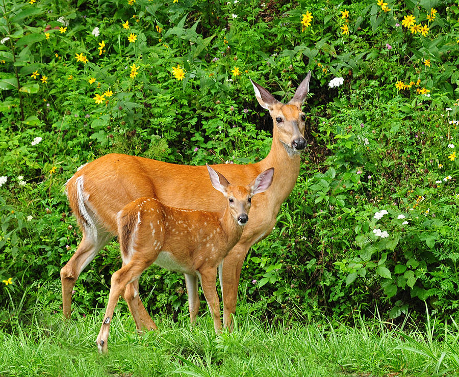 Mother And Baby White-tailed Deer Photograph by Lara Ellis