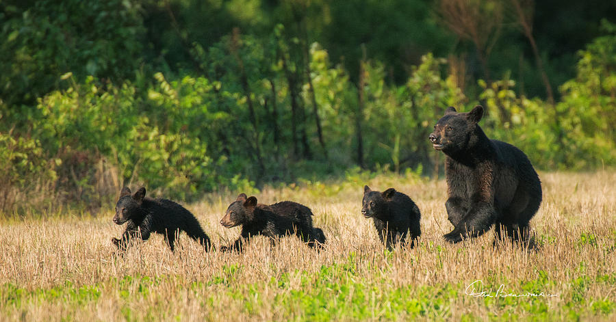 Mother Black Bear And Three Cubs 7006 Photograph