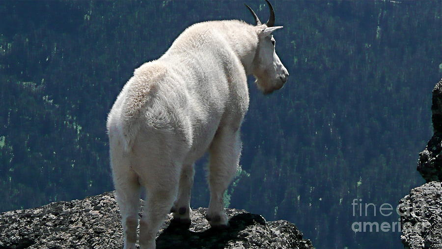 Photography Photograph - Mountain Goat 2 by Sean Griffin