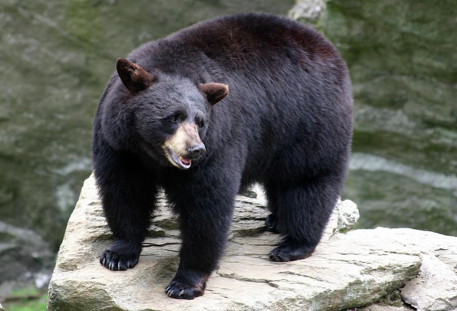 Bear Photograph - Mr Bear by Karol Livote