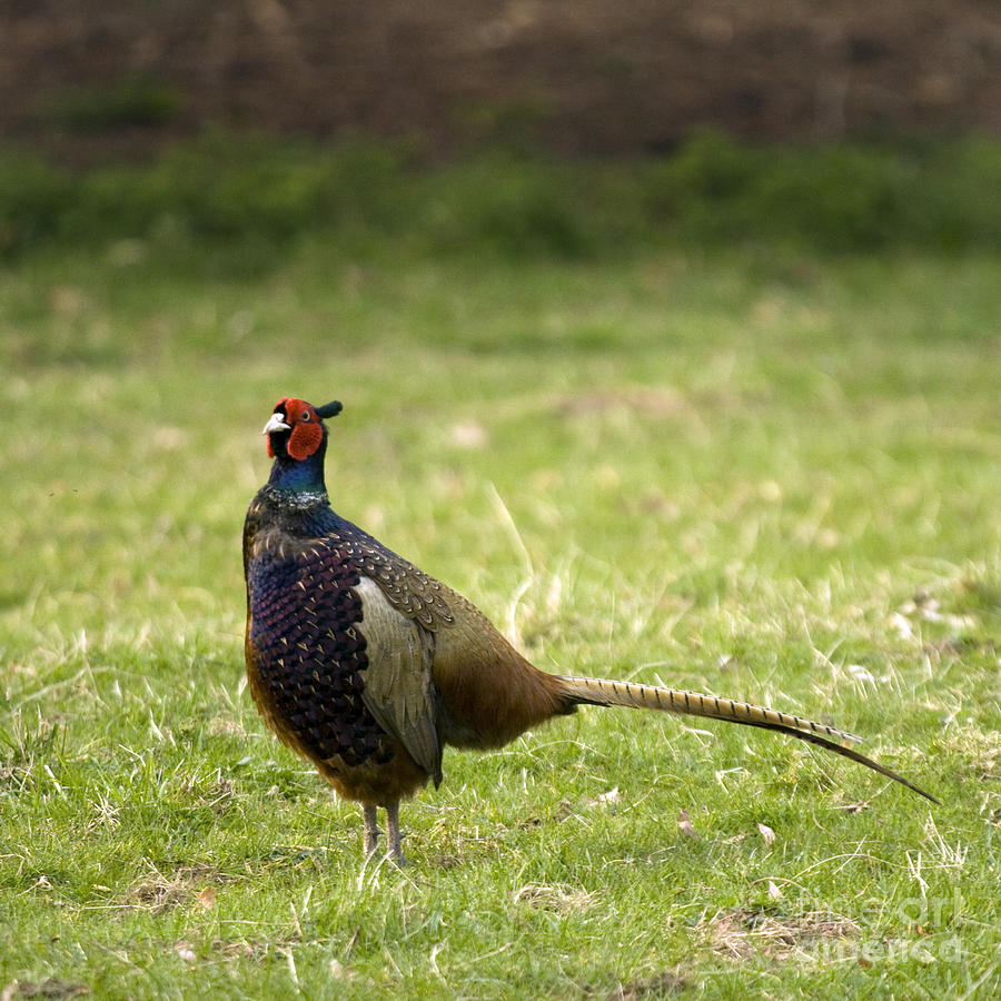 Pheasant Photograph - Mr Pheasant by Angel  Tarantella