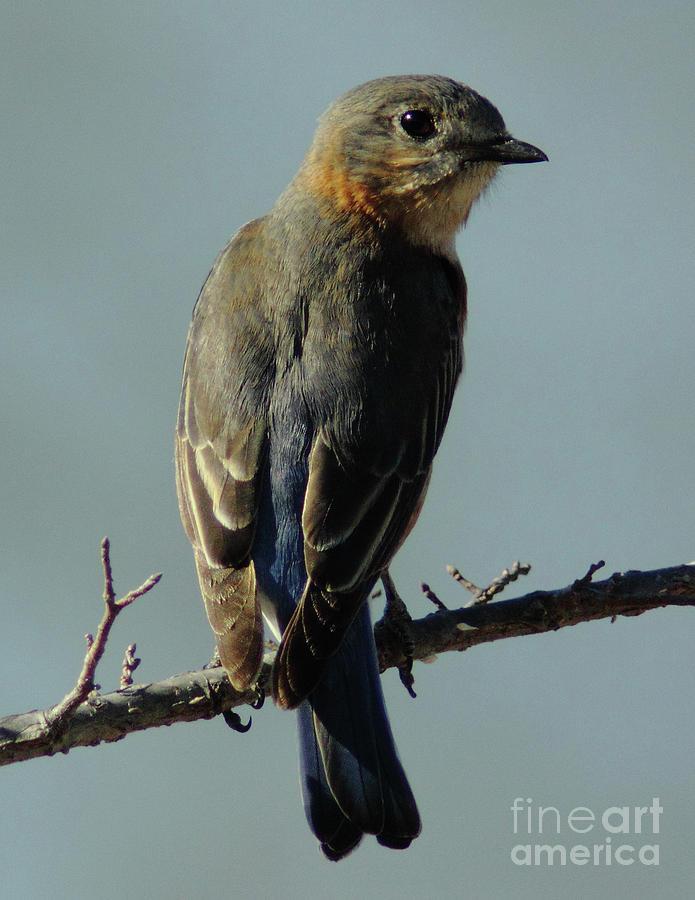 Animal Photograph - Mrs. Bluebird by Robert Frederick