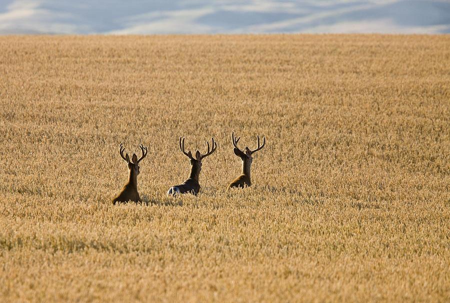Deer Photograph - Mule Deer In Wheat Field by Mark Duffy